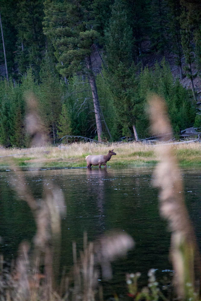Moose in Yellowstone National Park